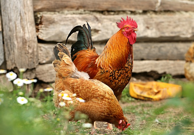 rooster and hen on farm