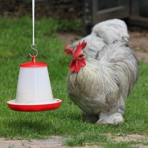 broiler chicken eating out of feeder