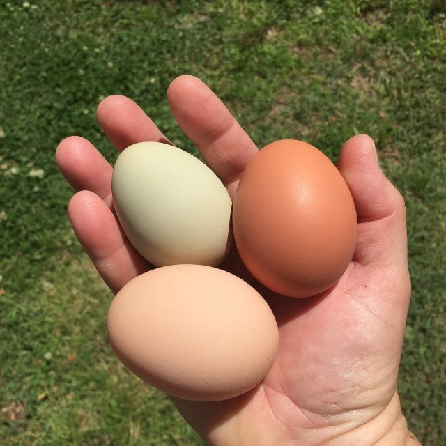 person holding chicken eggs in hand