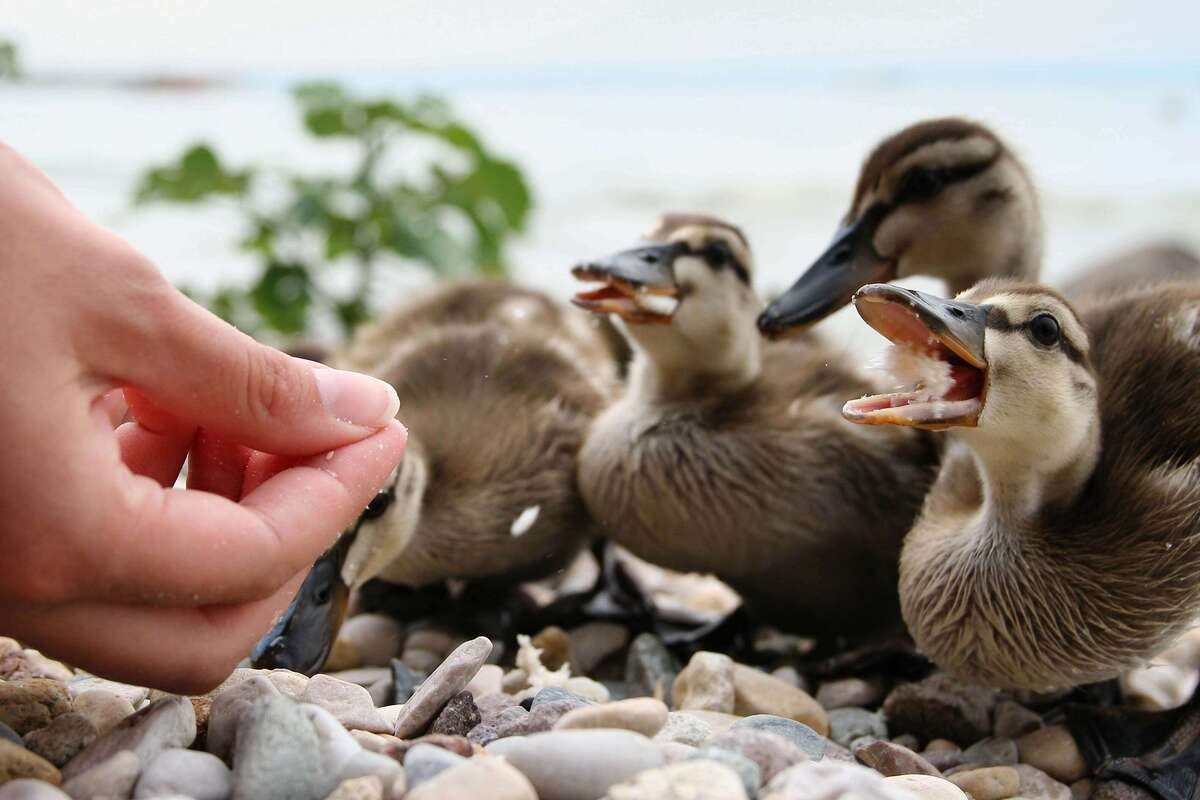 human feeding ducks bread