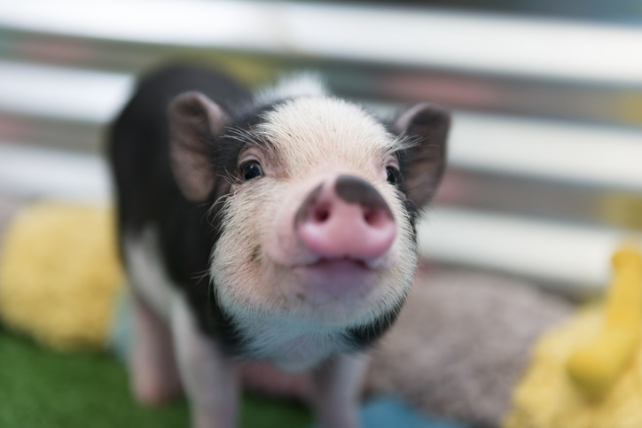 black and pink mini pig