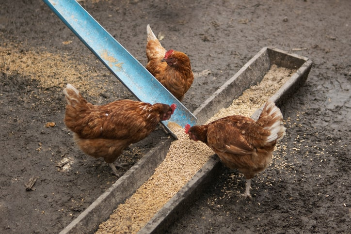 chickens eating feed out of trough