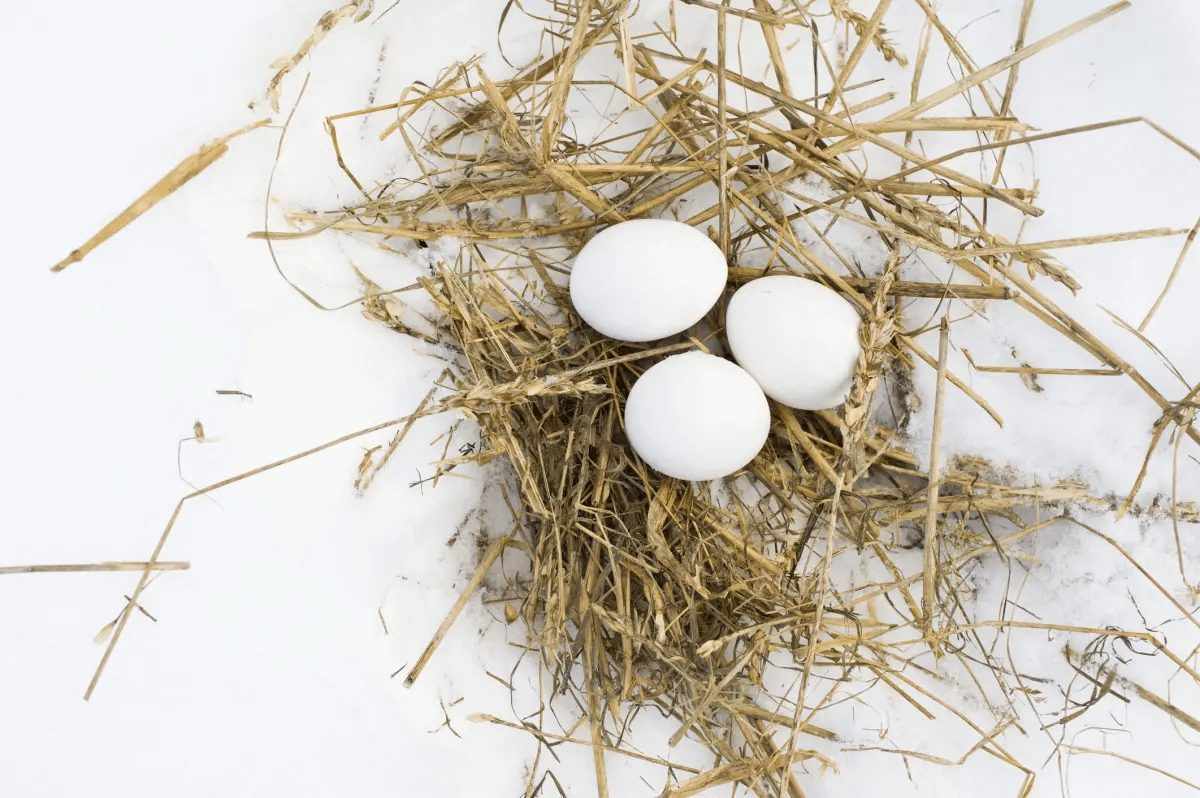 white chicken eggs laying on nest in snow