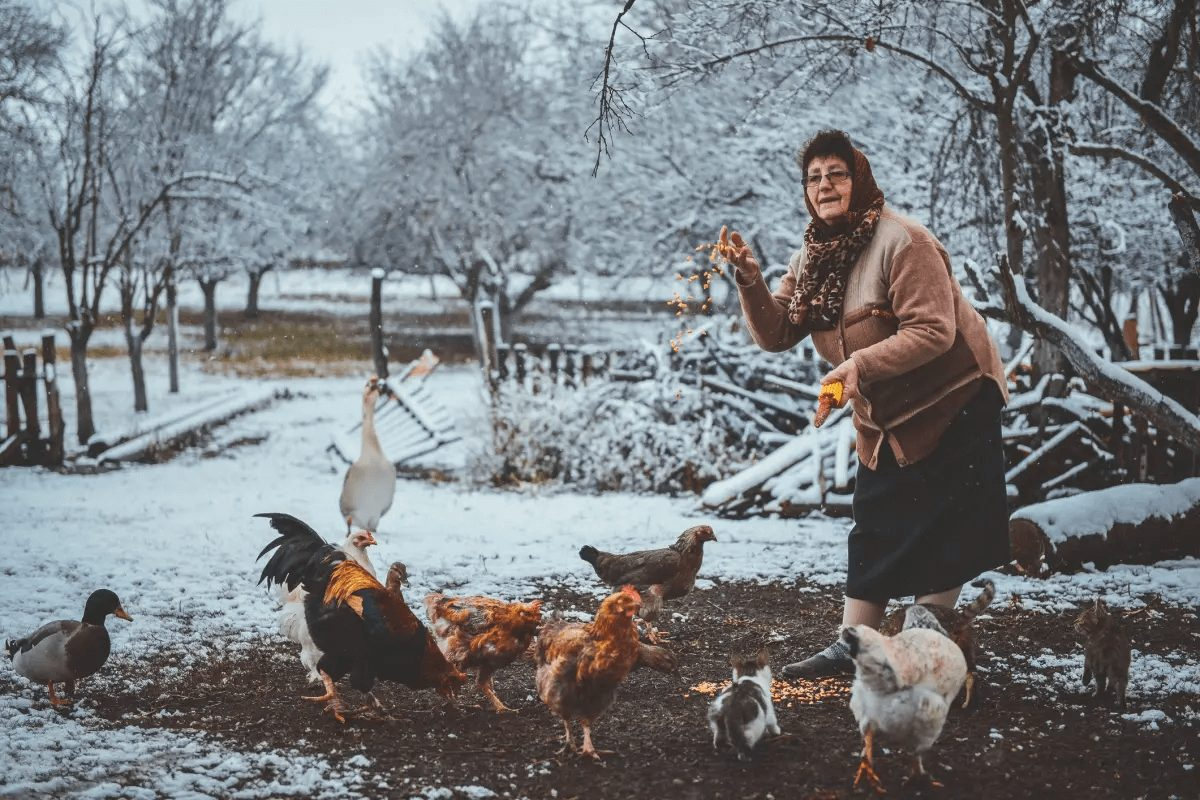 Grandmother feeding chickens during winter