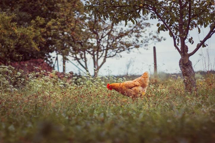 chicken in grassy field