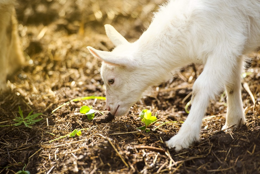 goat smelling ground